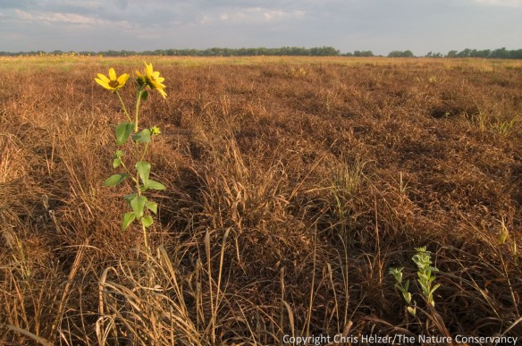We burned this Platte River Prairie in the spring of 2012, hoping to harvest grass seed from it in the fall.  As a result of drought, the grass didn't produce much vegetative growth, let alone seed.  This annual sunflower enjoyed the lack of competition, however...