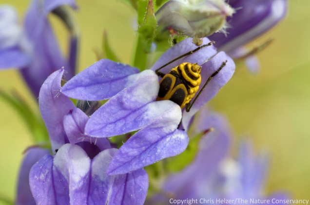 "A soldier beetle, lured to a lobelia flower by the sweet scent and promise of a pollen meal, is held fast by the flower and slowly digested from the head up.  Most amazing is the yet unexplained ""burp"" sound that is emitted by the flower at fairly regular intervals during this process."