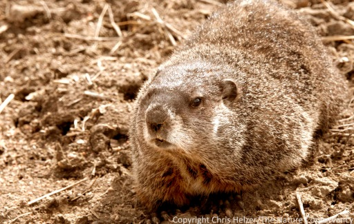 The poor groundhog has been a popular scapegoat for this year's cold spring temperatures.  In reality, both this year's cold spring and last year's warm spring are much more strongly tied to global warming and melting arctic ice.