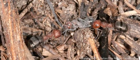 Formica obscuriventris