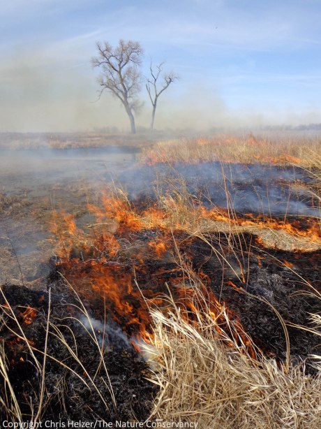 Fire burns on a small island in a restored wetland.  The burn will encourage shorebird use this spring, suppress the growth of willow trees, and make it easier for us to find and control reed canarygrass this summer.