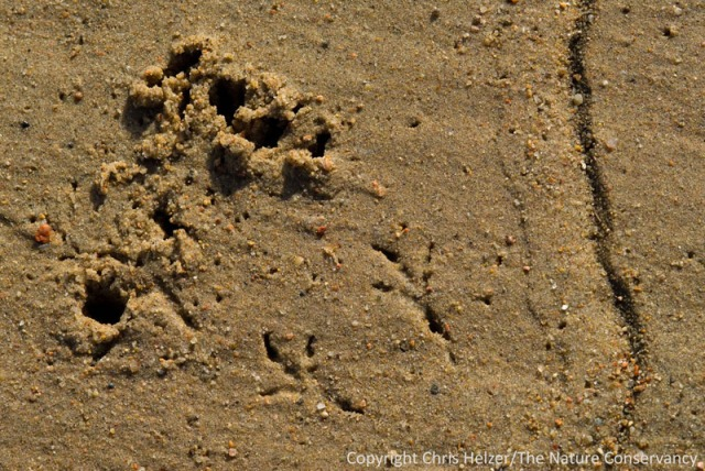 Tracks and holes in the sand where a shorebird was probing for invertebrates along the Central Platte River in Nebraska.