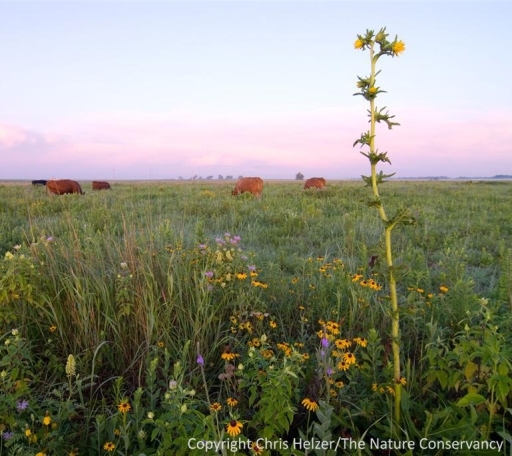 A floristically rich restored prairie, in which prescribed fire and grazing are being used to maintain high plant diversity.  The Nature Conservancy's Platte River Prairies, Nebraska.