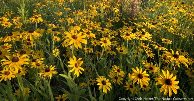 "These black-eyed susans are blooming in profusion the year after a Platte River Prairie was grazed.  An abundance of short-lived opportunistic species such as this one might lead to a prairie being characterized by som as ""mid-successional'."