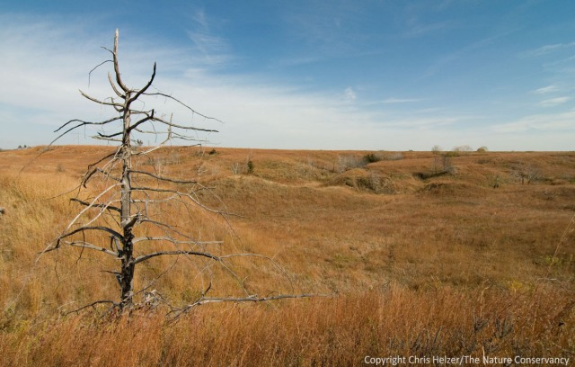 Burning prairie can suppress the encroachment of trees, including eastern red cedars.