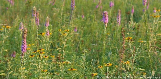 In the eastern tallgrass prairies studied by Bowles and Jones, summer wildflower diversity increased under frequent burning.