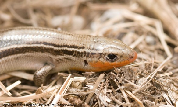 I generally find prairie skinks such as this one in prairies with a certain amount of thatch.  I'm not sure how this and other species would do in prairies that were burned in their entirety on a frequent basis.