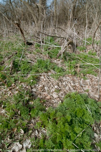Poison hemlock is most often found in old woodlots along the Platte River.  It's unusual for us to find it in our diverse prairies.