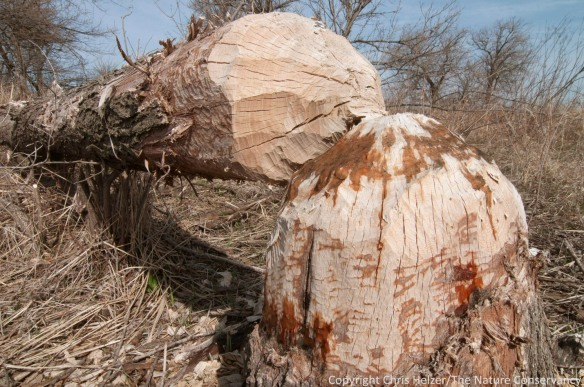 This tree, cut down by our local beavers, had sap seeping from the stump last week.  The Nature Conservancy's Platte River Prairies, Nebraska.