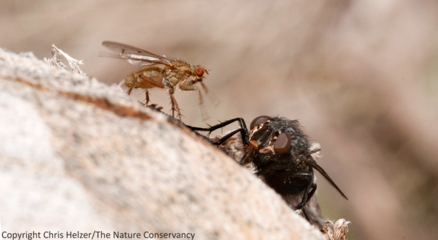 Fly #3 didn't like Fly #1 working over the same puddle of sap and lunged at it