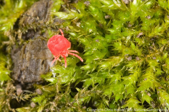 A tiny red mite
