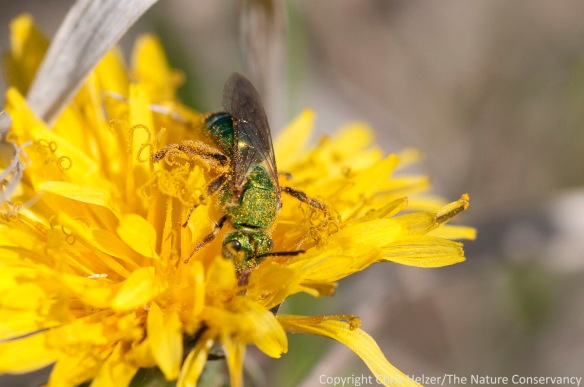 A sweat bee enjoying a pollen-loaded dandelion at the Helzer prairie south of Aurora, Nebraska.