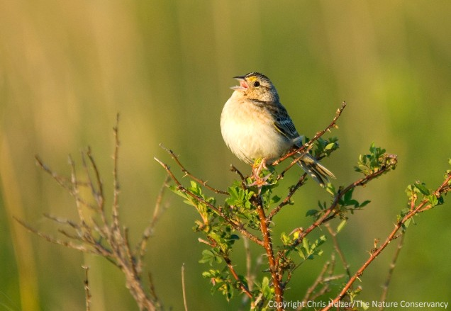 Grasshopper sparrows and other prairie birds are abundant in the Platte River Prairies.  Lean about species and the way they respond to prairie management from Michelle Biodrowski (UNO).