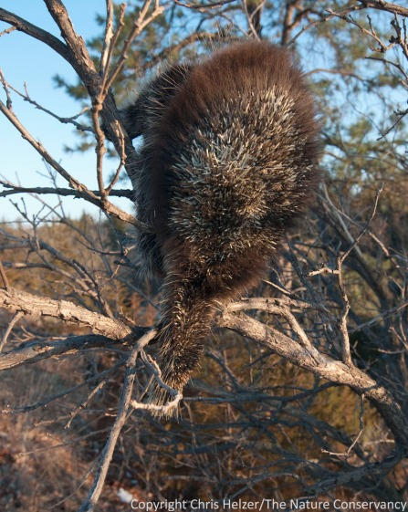 This was the only view of the porcupine I could get - no matter which side of the tree I was on.  It looked like maybe the tips of many of his quills had been singed off in the wildfire. (?)