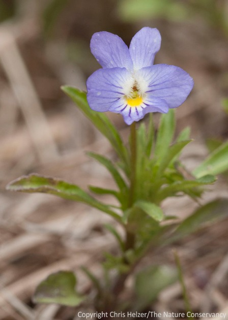 Wild pansy, aka Johnny Jump-up (Viola rafinesquii), is an annual violet that is spreading (in a good way) across some of our restored Platte River Prairies.  It is flourishing this spring in sites that were grazed during last year's drought.