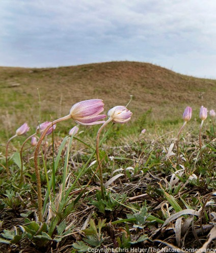 Wind flower (Anemone caroliniana) blooms at heights of about 3 or 4 inches.  Because both the flowers and stems are small, even a big patch of wind flowers can be difficult to see from 15-20 feet away.  Photo taken at Prairie Plains Resource Insitute's Griffith Prairie.