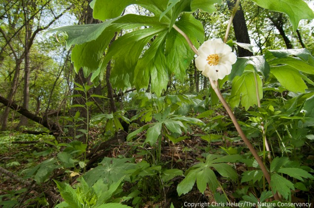 A may apple flower hides beneath the canopy of its own leaves.  The Nature Conservancy's Rulo Bluffs Preserve, Nebraska.