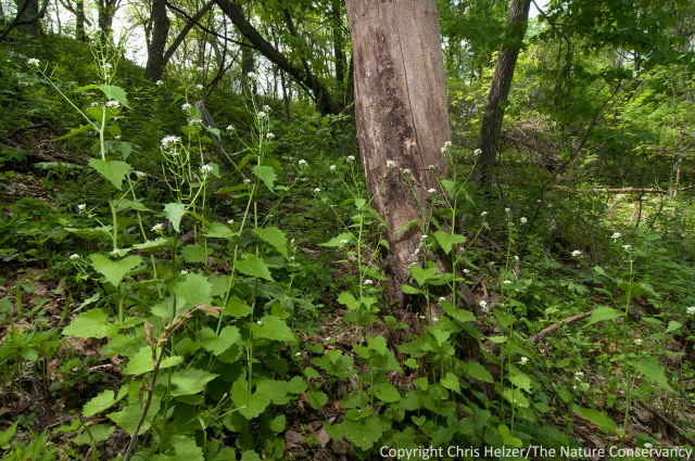 Small patches of garlic mustard such as this one might eventually be eliminated by hand-pulling.