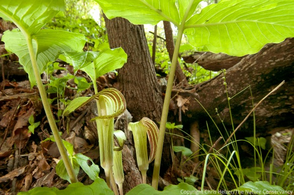 Jack-in-the-pulpit is one of many woodland flower species that help make the Rulo Bluffs Preserve unique and valuable.