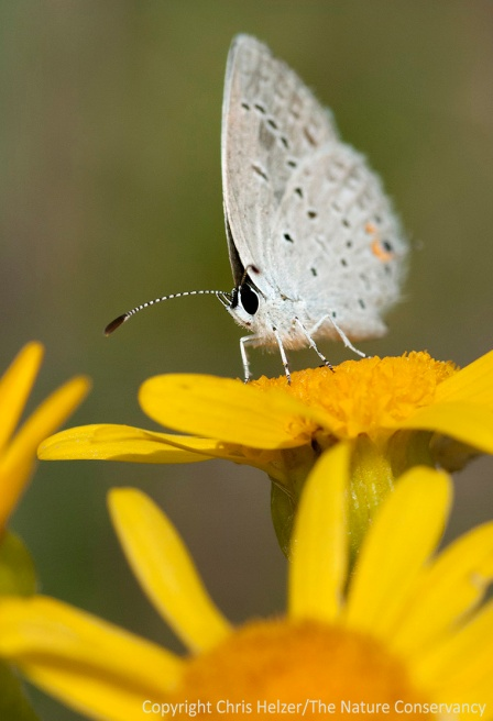 An eastern-tailed blue butterfly on ragwort at the Helzer family prairie by Stockham, Nebraska.