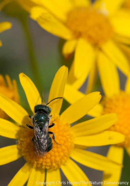 A sweat bee on ragwort at the Helzer family prairie.