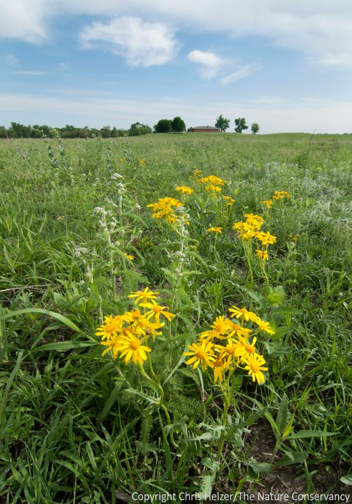 Prairie ragwort along one of the hiking trails at The Nature Conservancy's Platte River Prairies, Nebraska.