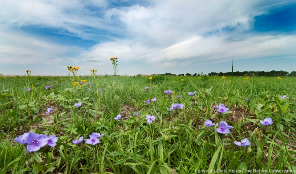 A close-up look at a patch of bracted spiderwort, with prairie ragwort (Senecio plattensis) in the background.  The Nature Conservancy's Platte River Prairies, Nebraska.