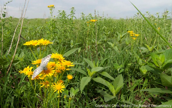 A common checkered skipper butterfly feeds on ragwort in one of our restored Platte River Prairies.