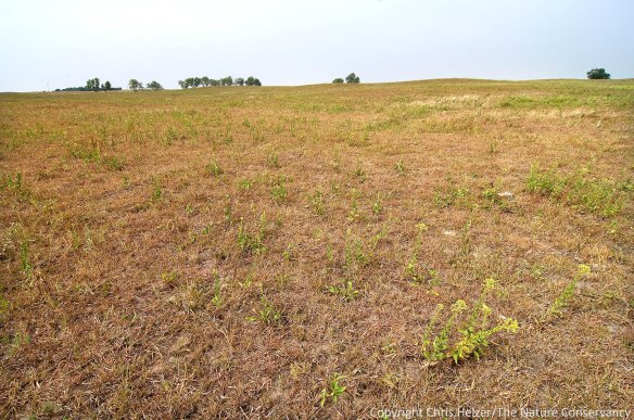 This is the same portion of prairie shown in the first photo, but this images was taken August 24, 2012 after a year of fire, grazing, and severe drought.  Most of the green in the photo is western ragweed and a little goldenrod.
