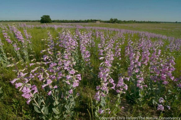 A profusion of penstemon in restored sandhill prairie at The Nature Conservancy's Platte River Prairies.