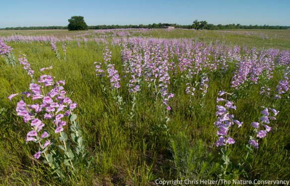 Junegrass (Koeeria macrantha) is also having a great year, and provides a beautiful counterpoint to the penstemon in this photo.