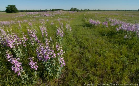 The mowed hiking trail through sandhills provides excellent exposure to the penstemon profusion this season.