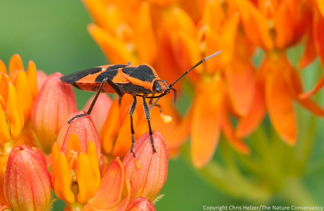 In this photo, you can see pollinia (sticky clumps of pollen) stuck to two legs of this large milkweed bug.
