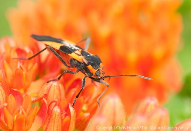 The large milkweed bug on butterfly milkweed - Lincoln Creek Prairies, Aurora, Nebraska.