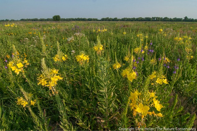 Showy evening primrose is prominent among a number of profusely blooming plants in this restored prairie that was burned and intensively grazed during last year's drought.  The Nature Conservancy's Platte River Prairies, Nebraska.