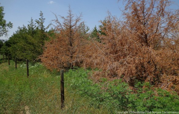 Why are cedar trees dying around Nebraska?