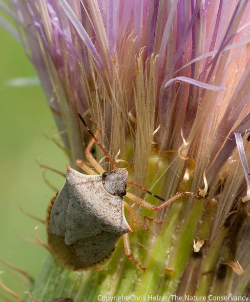 A stink bug on wavy-leaf thistle (Cirsium undulatum).