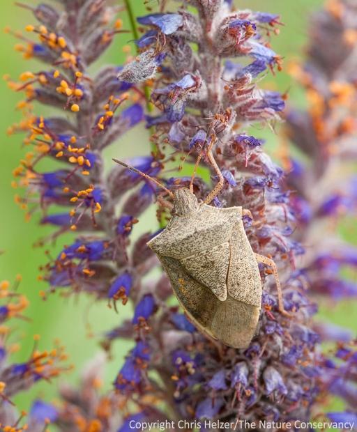 ... and a stink bug on leadplant (Amorpha canescens)...