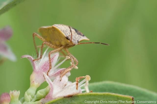 A stink bug on coralberry (aka buckbrush or Symphoricarpus orbiculatus).  Griffith Prairie - Nebraska.