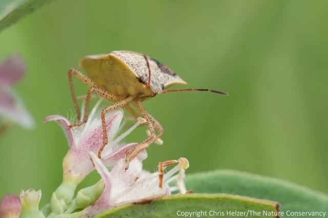 A stink bug on coralberry (aka buckbrush or Symphoricarpus orbiculatus).  Griffith Prairie - Nebraska.