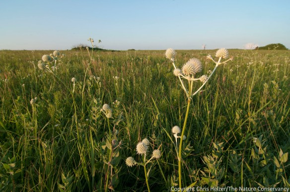 Rattlesnake master is common at Tucker Prairie, the last sizeable remnant of the Grand Prairie that used to cover a large portion of northern Missouri.