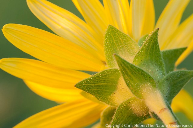 Rosinweed (Silphium integrifolium) was just beginning to bloom during the GRN workshop.