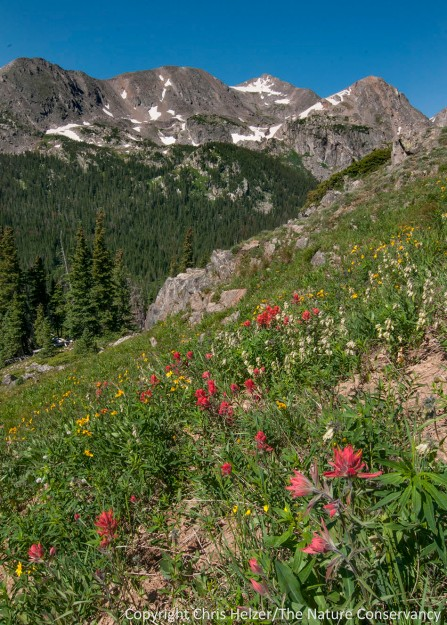 I know the plant species in my prairies really well, and can often identify at least 50-75% of the plants I see in other prairies in the central U.S.  However, in the sub-alpine and alpine meadows of the Rockies, I'm lucky to guess the genus correctly...  For example, I know this red flower is a Castilleja species (Indian paintbrush) but don't know which species it is.