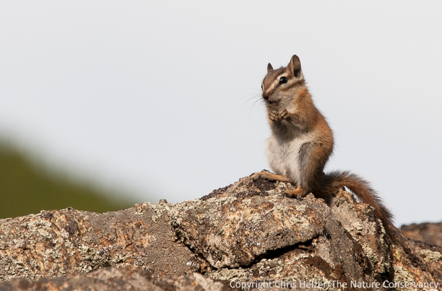 At the top of the ridge, there were several least chipmunks running around among the rocks.  I sat and watched them for a little while and managed to get a few photos as they sat in the sunshine to eat.