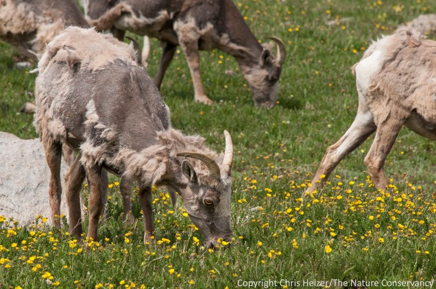 On the lower slopes of Mount Evans, we saw a group of bighorn sheep grazing in a meadow.