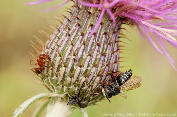 A small bee is among the victims on this particular flower.  The red ant on the left was still alive when I photographed it.  Flodman's thistle at the Helzer family prairie.