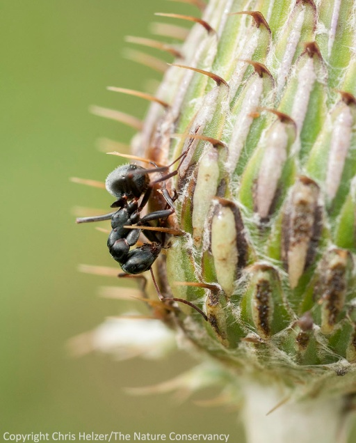 This ant got stuck on the lower portion of this Flodman's thistle flower and eventually died there.  Helzer family prairie - south of Aurora, Nebraska.