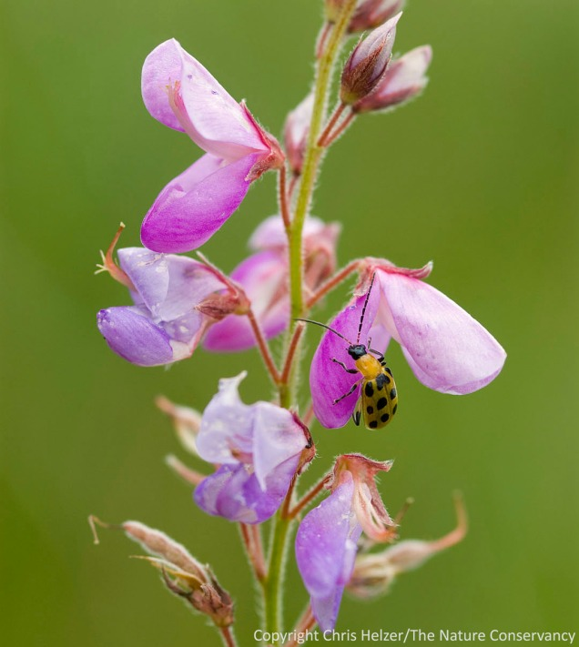 Spotted cucumber beetle on showy tick trefoil (Demodium canadensis)