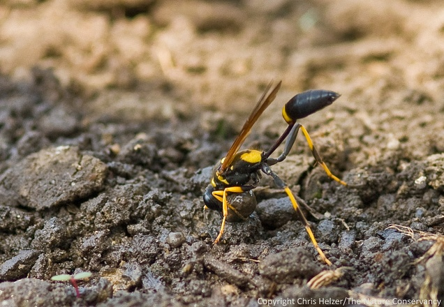 A mud dauber wasp creates a ball of mud to build her nest.