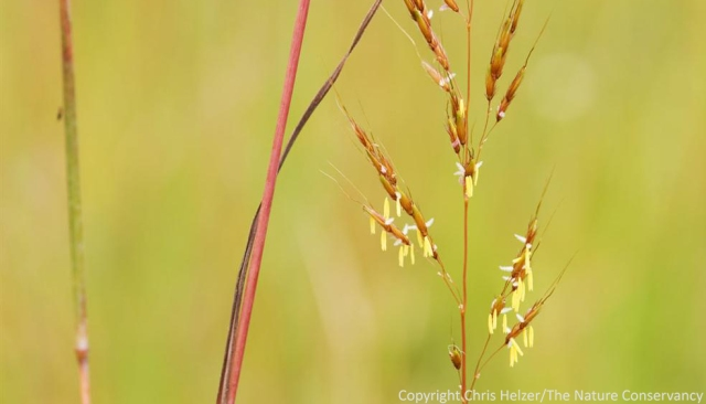 Grasses, including indiangrass (Sorghastrum nutans) don't have showy flowers because they don't need to attract insects to carry their pollen.  The wind does the job instead.